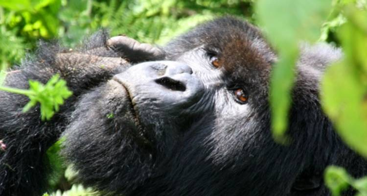 Mountain Gorillas of Uganda Experience - Independent - Peregrine Adventures