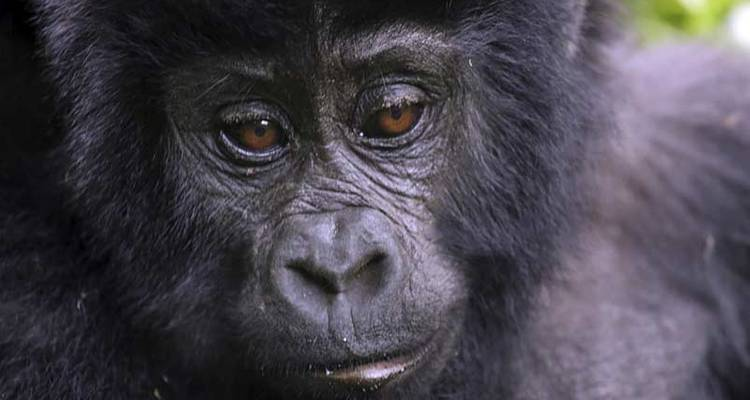 Chimps & Gorillas of Uganda - Exodus Travels