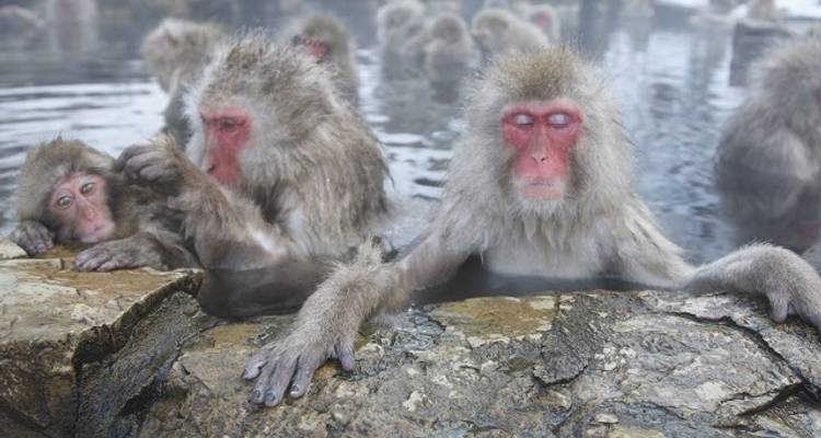 Meet Wild Snow Monkey - Winter Japan Tour - Japan Deluxe Tours