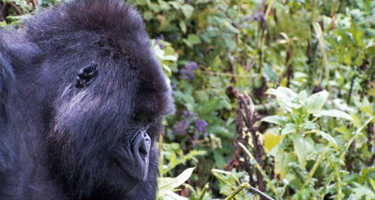 Game Parks and Gorillas Accommodated (from Nairobi to Dar es Salaam) - Acacia Adventure Holidays