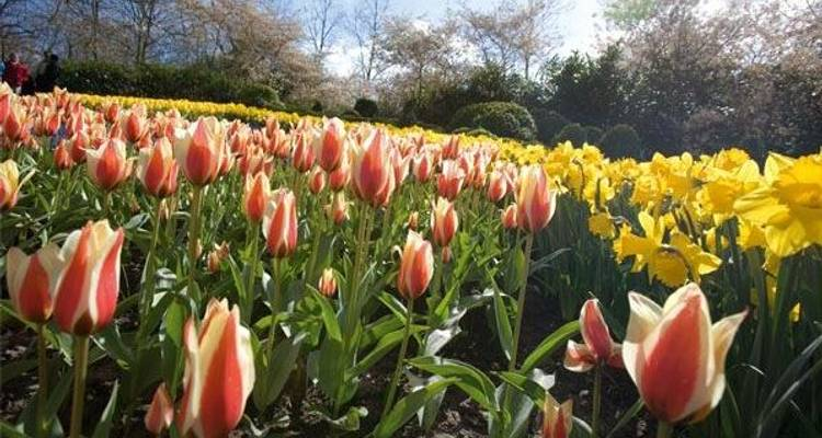 Tulip time in Holland - CroisiEurope River Cruises
