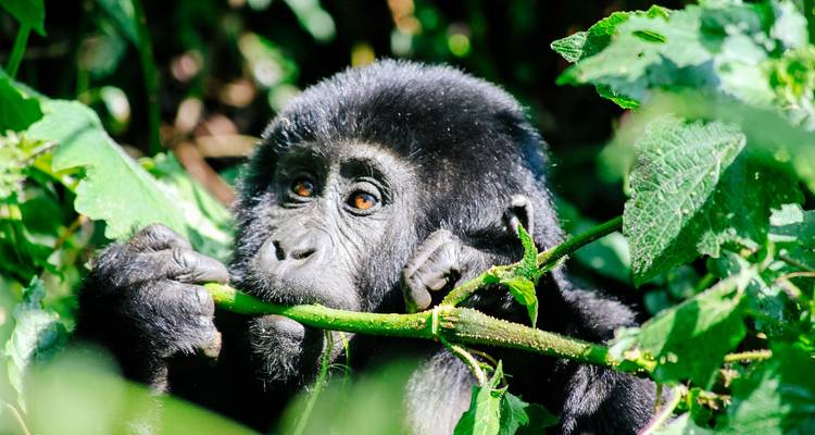 Troop to the Gorillas Accommodated 6 Days - Acacia Adventure Holidays