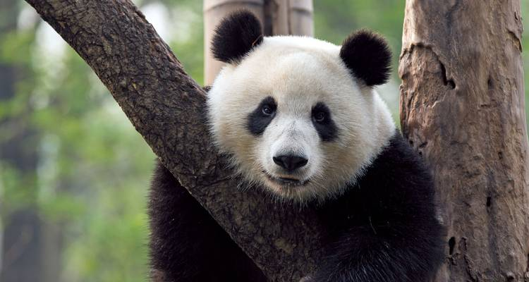 Pandas & Palaces - Scenic Luxury Cruises & Tours