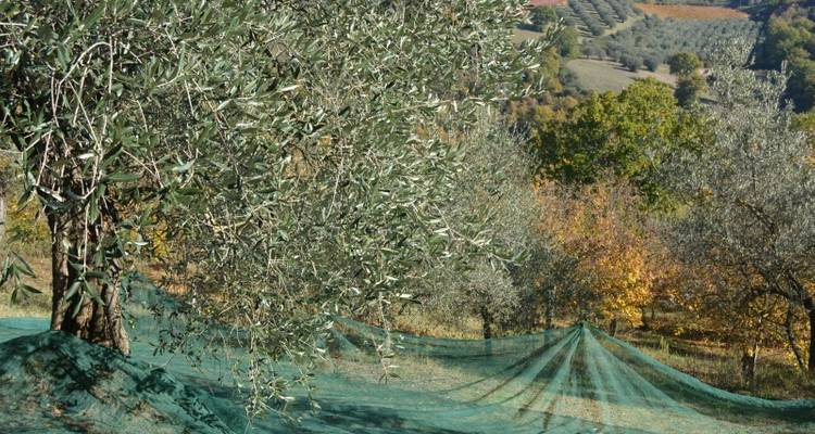 Olive Picking in Italy - Let's Cook in Umbria