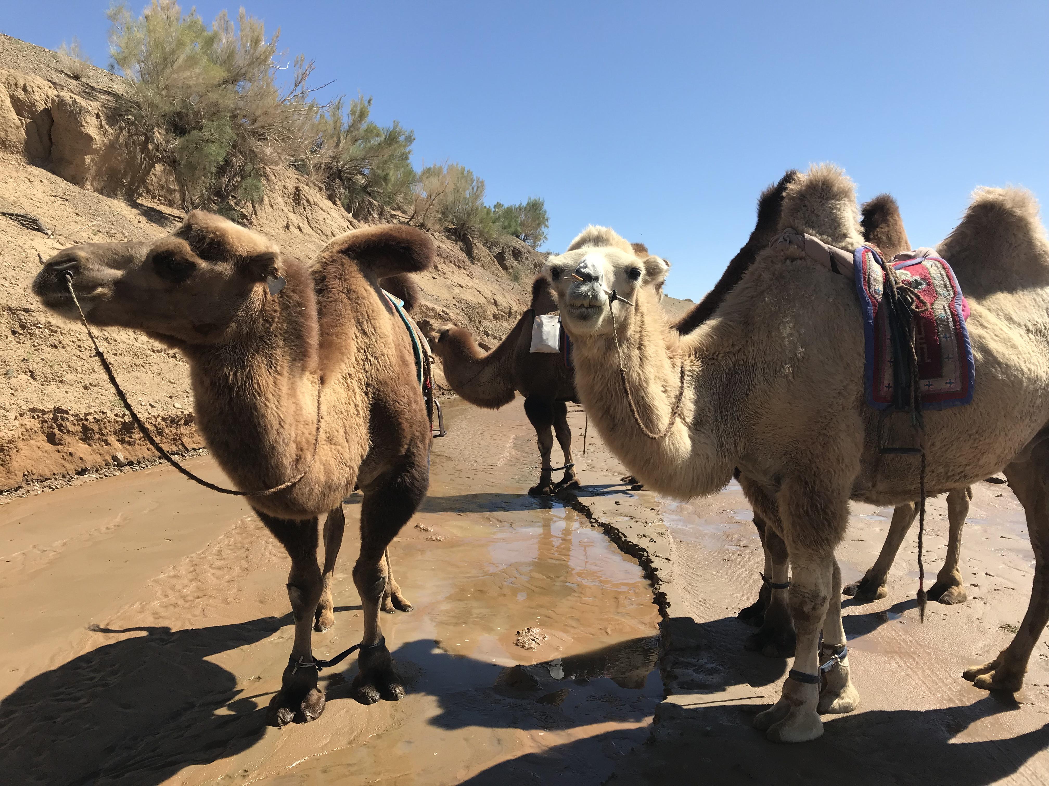 Camel Trekking in South Gobi by Juulchin Tourism Mongolia
