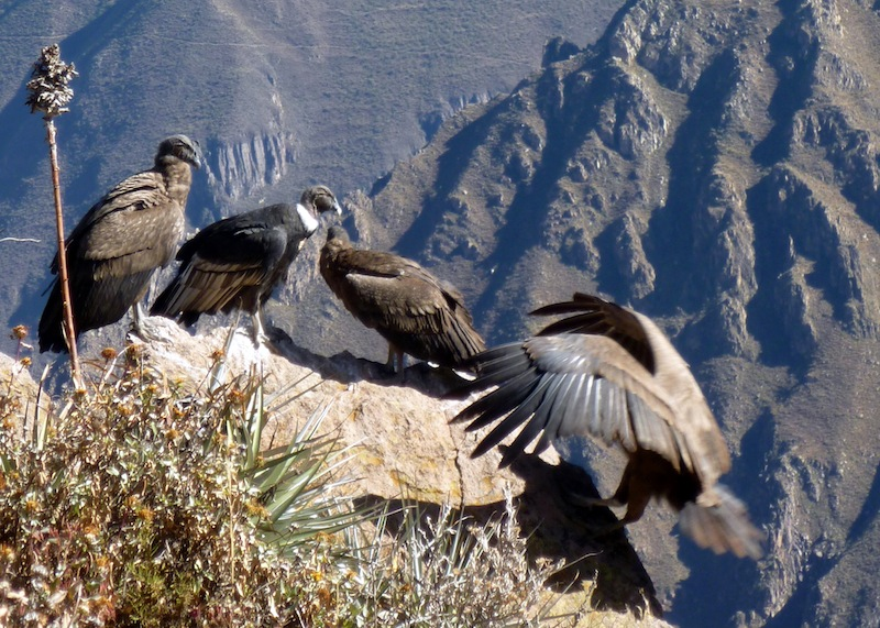 colca canyon trek 3 days by bamba experience with 3 tour reviews